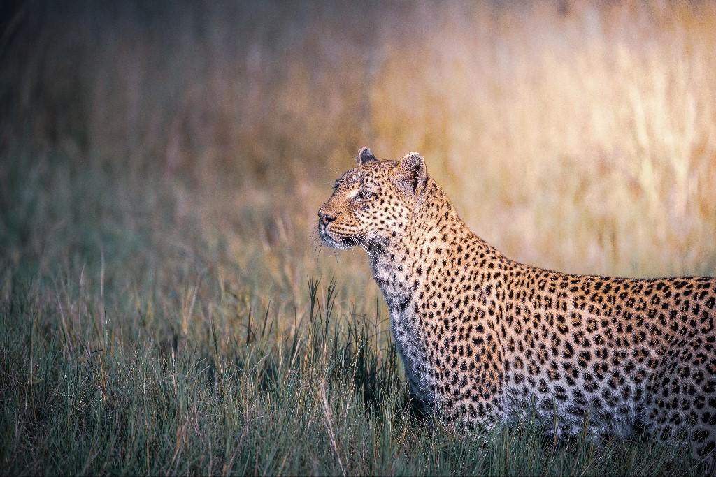 Dominic Kamp - Okawango Delta Hunting Leopard, 2018
