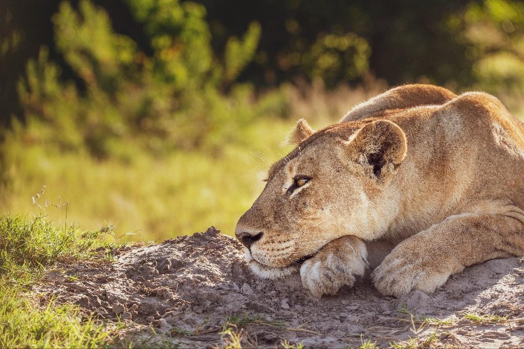 Dominic Kamp - Okawango Delta Snoozing Lion, 2018