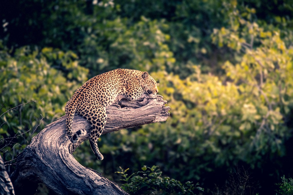 Dominic Kamp - Okawango Delta Sleeping Leopard, 2018