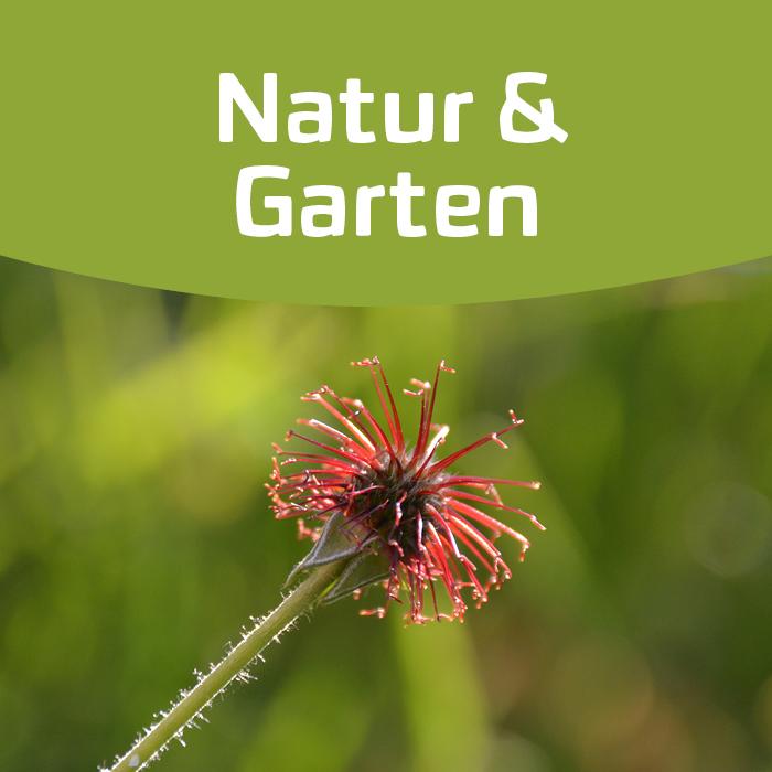 Nelkenwurz – von der Pflanze bis zum Pulver